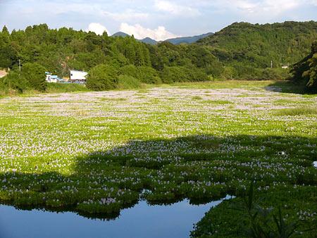 正円池のホテイアオイ1
